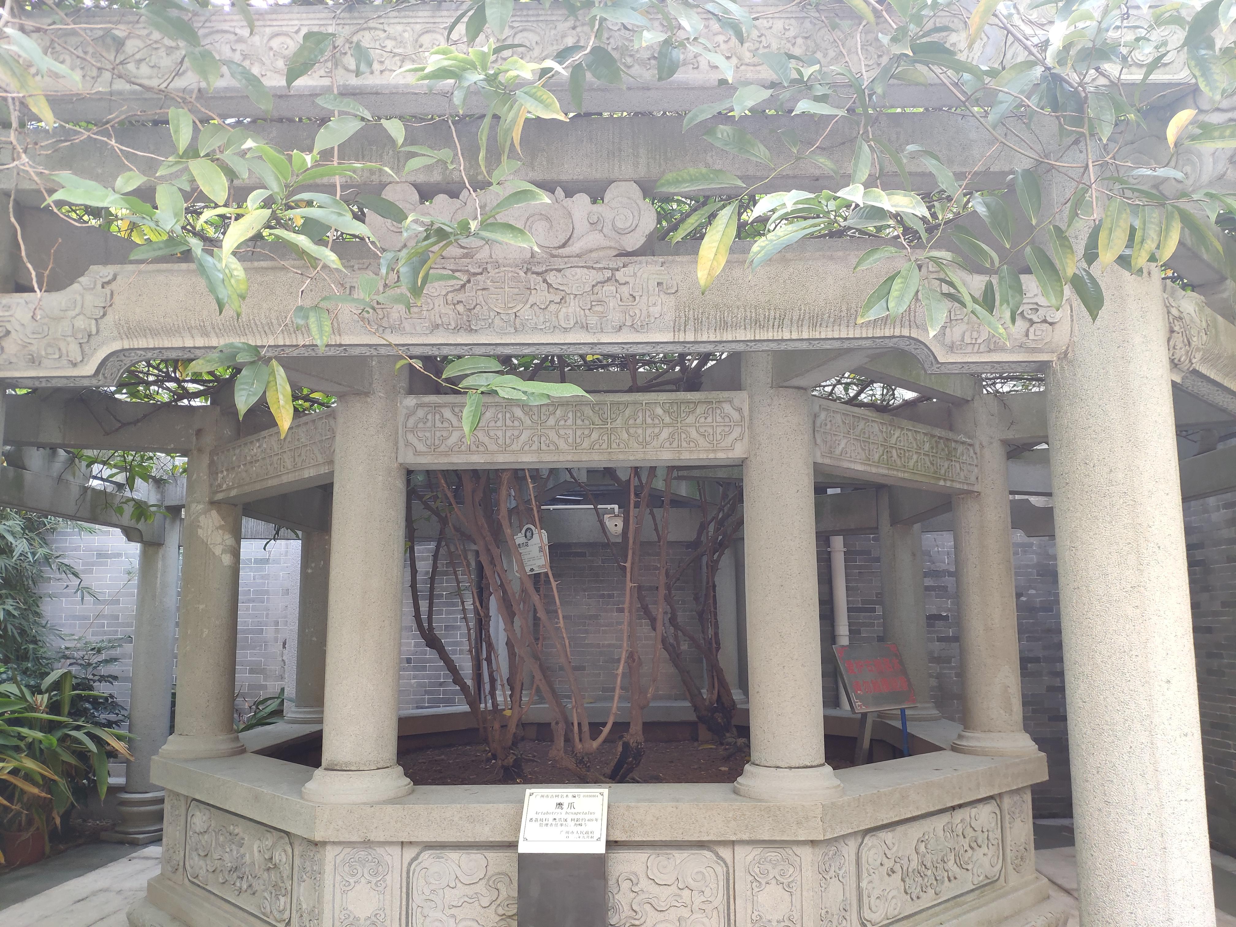 400多年的鹰爪兰