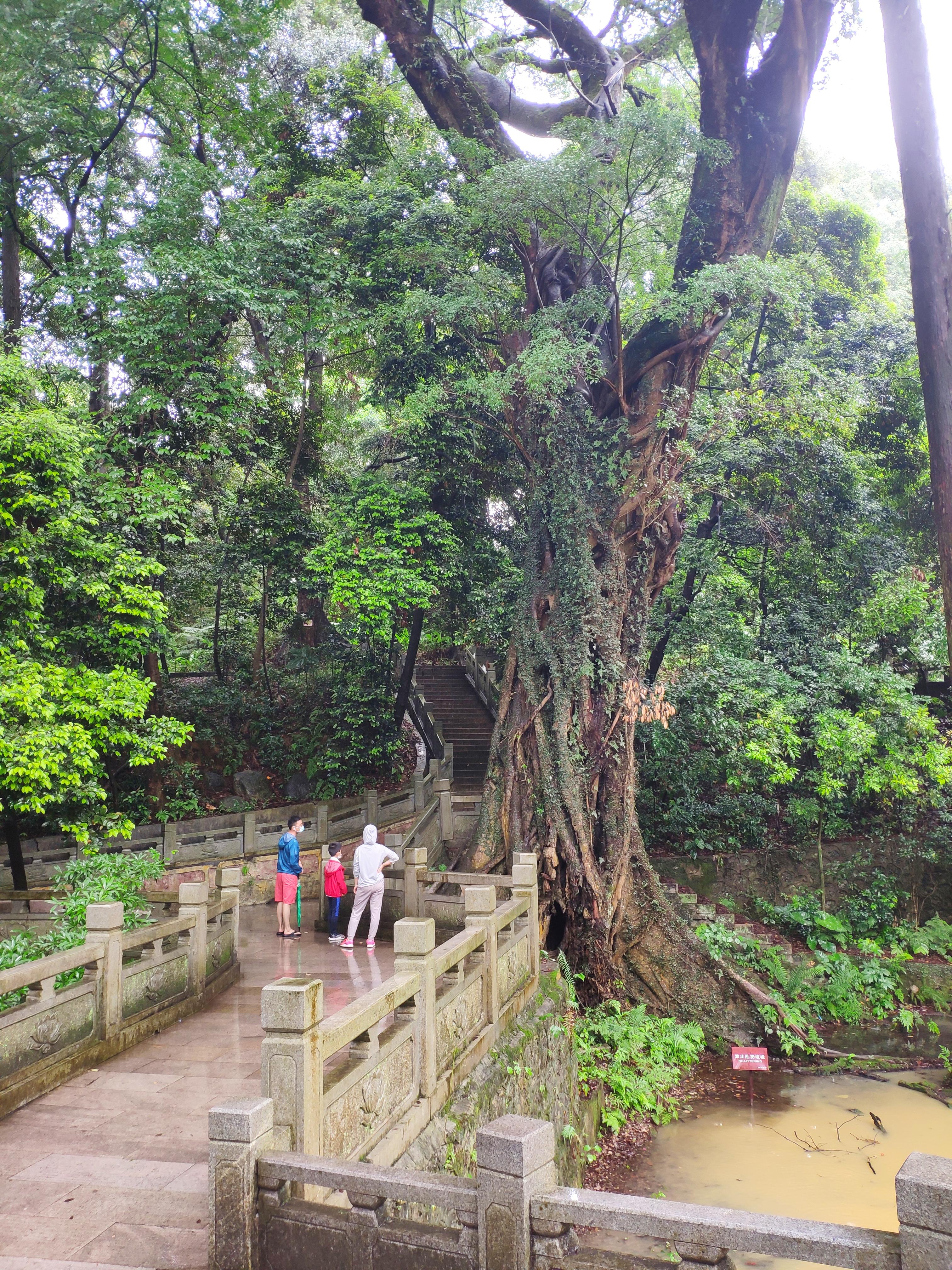 410余年的古树